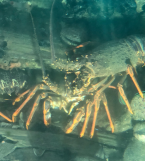 Crayfish 3
