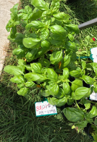 061 Basil at markets.png
